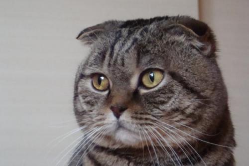 кошка шотландская вислоухая мышей ловить