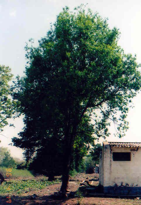 Дорогое дерево