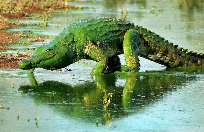 Самый настоящий зеленый крокодил.