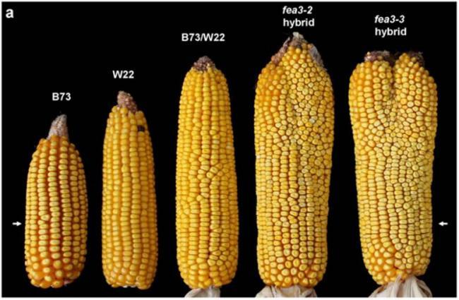 Однажды ученые вывели двухголовую породу коров. Правда удои молока от этого не выросли, но поголовье удвоилось... А двухпочатковая кукуруза, спасет население земли от голода.